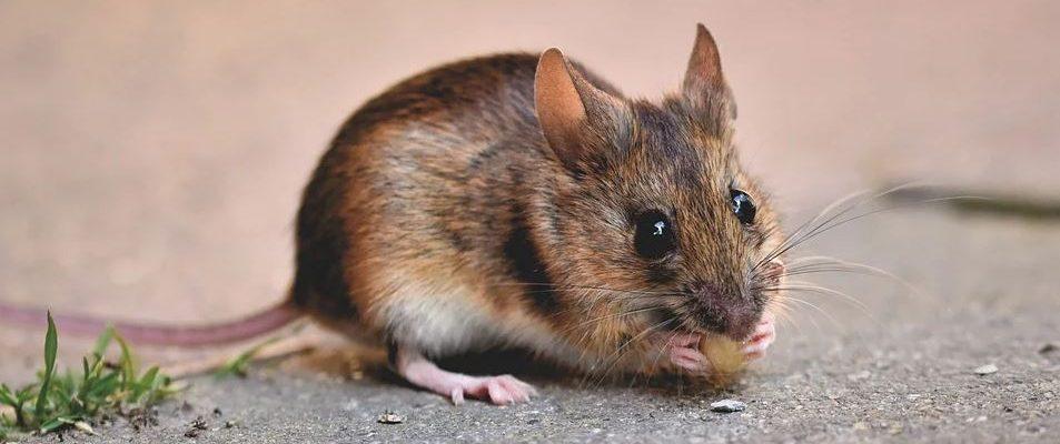 Chasser les souris sans les tuer : c'est possible !